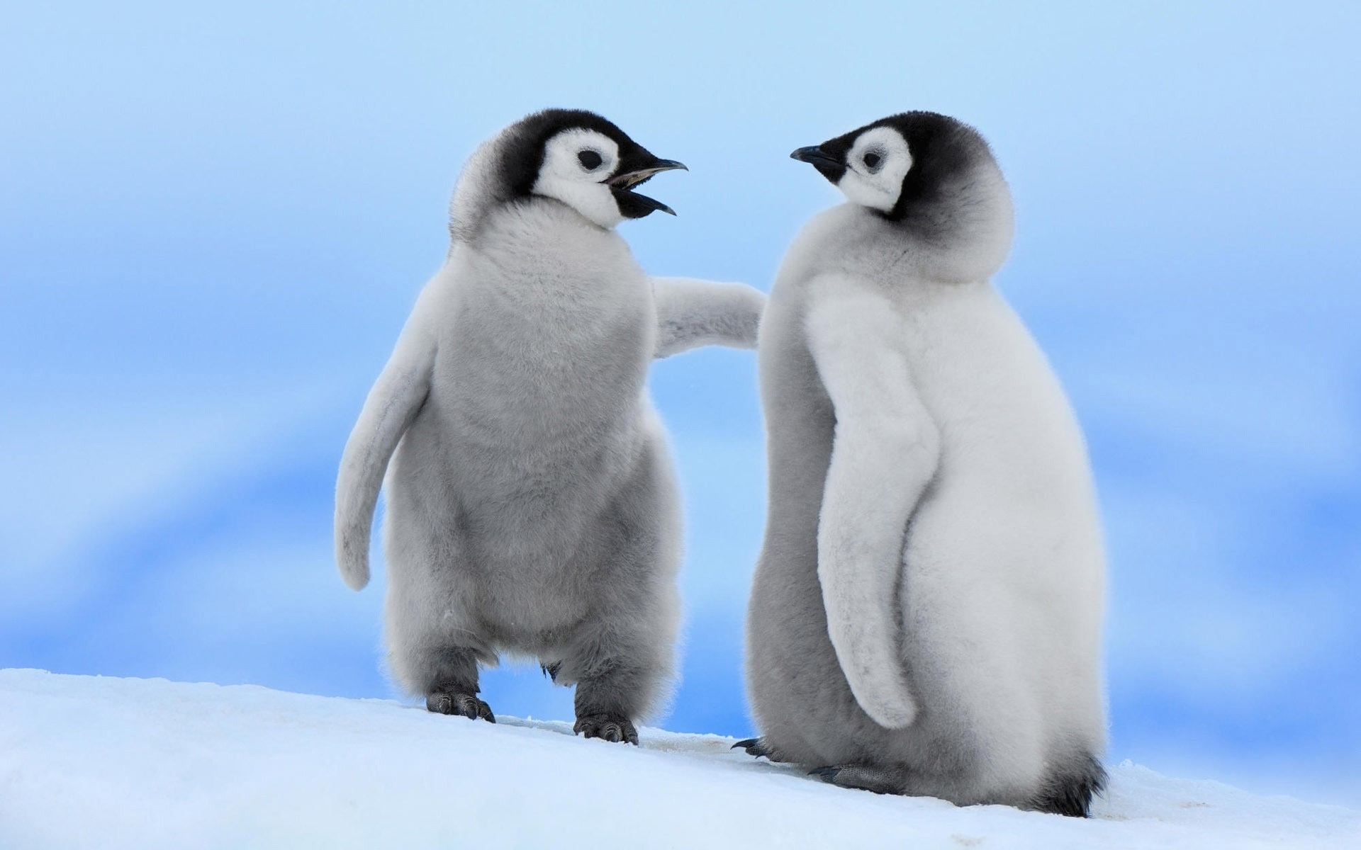 Two young penguin