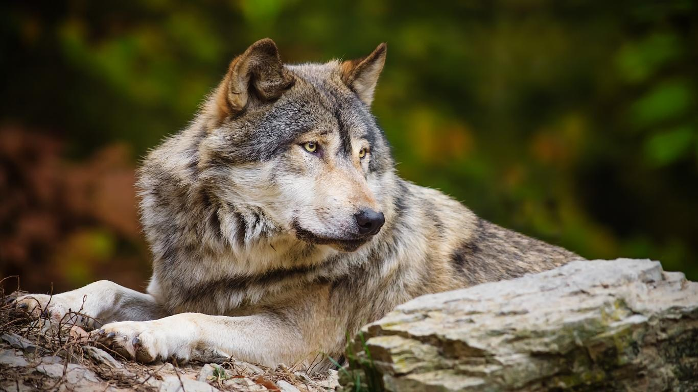 wild wolf pictures