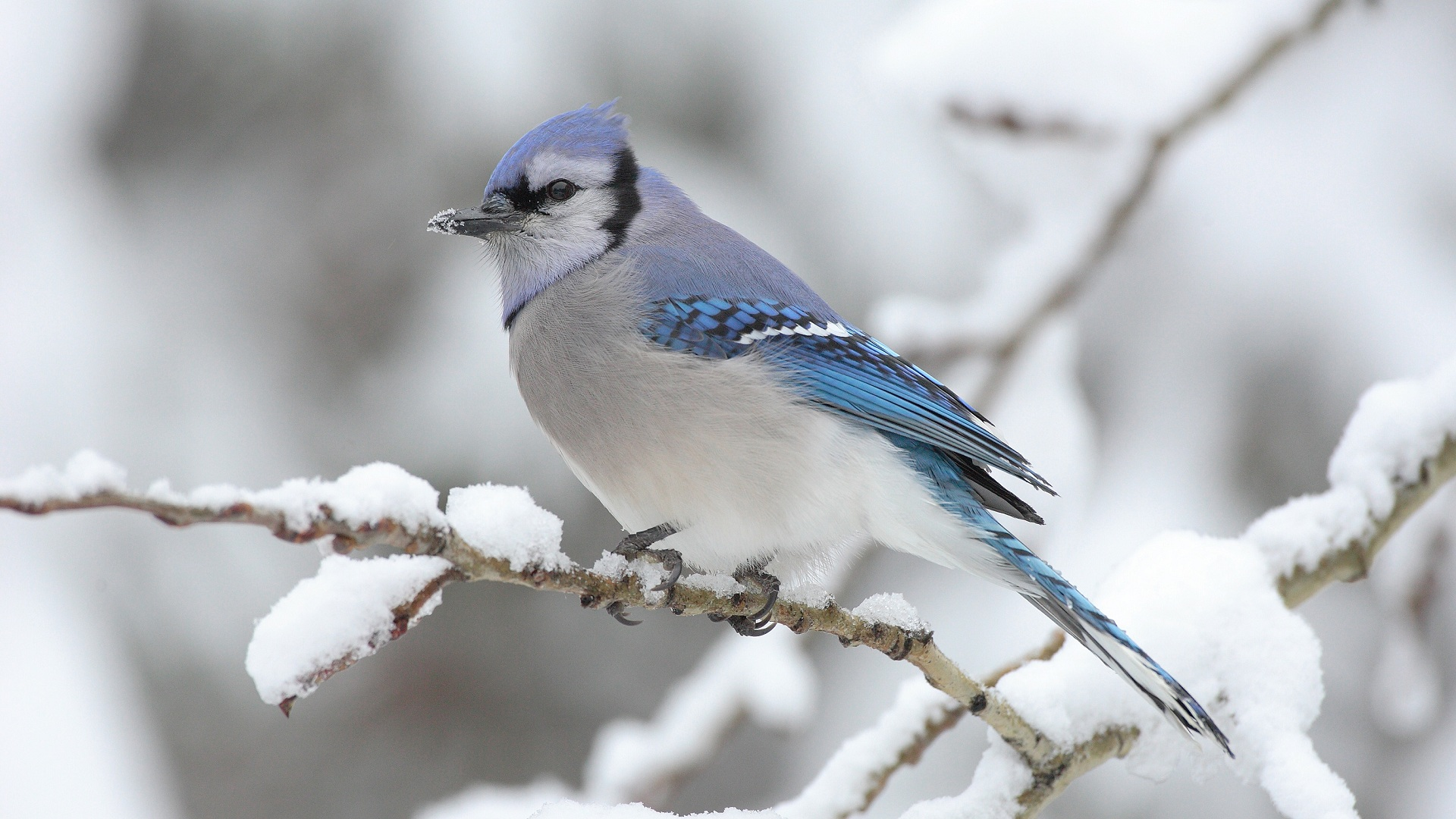 Winter bird with a blue crest on the branch of a poplar