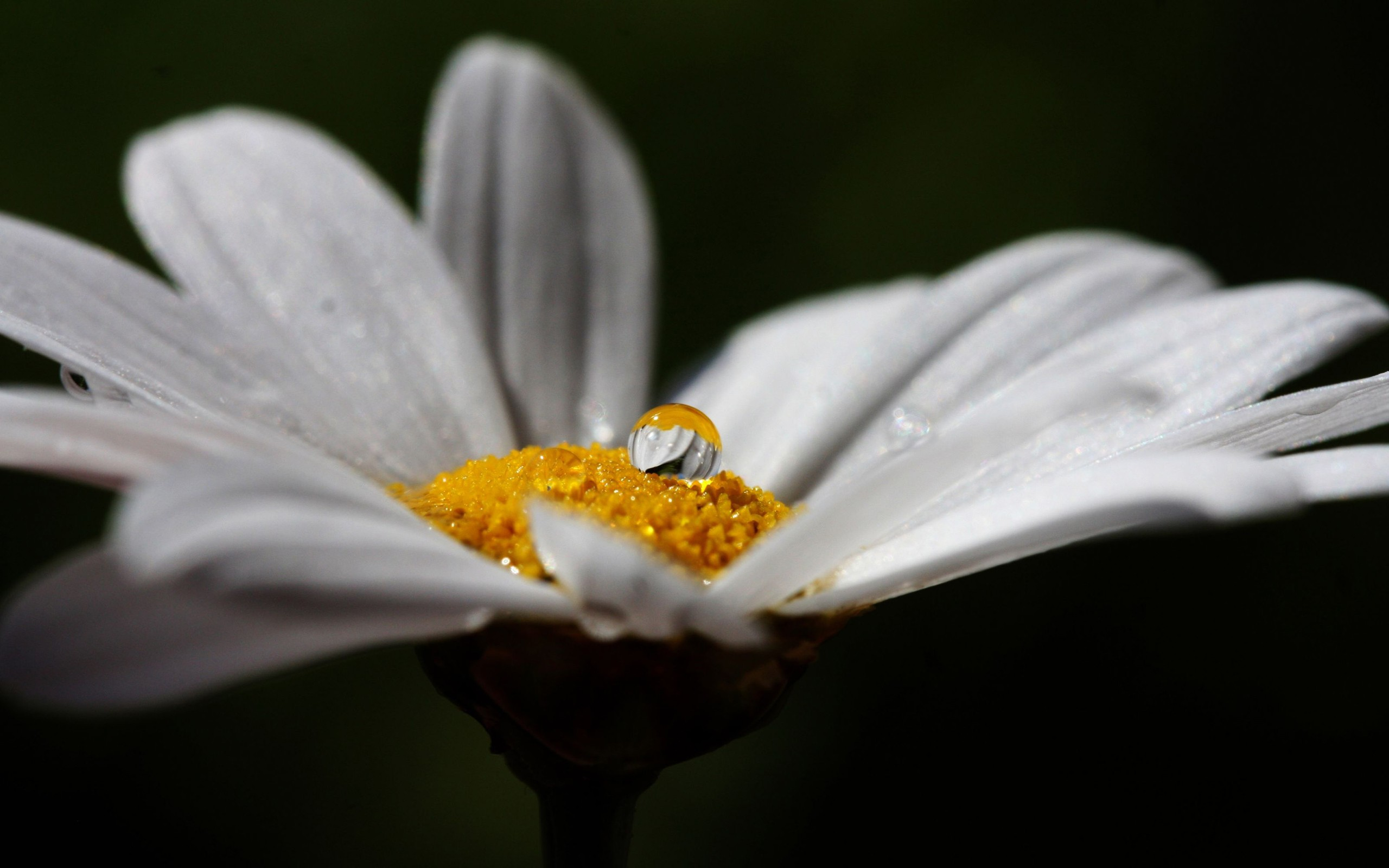 A drop of dew on the middle, chamomile