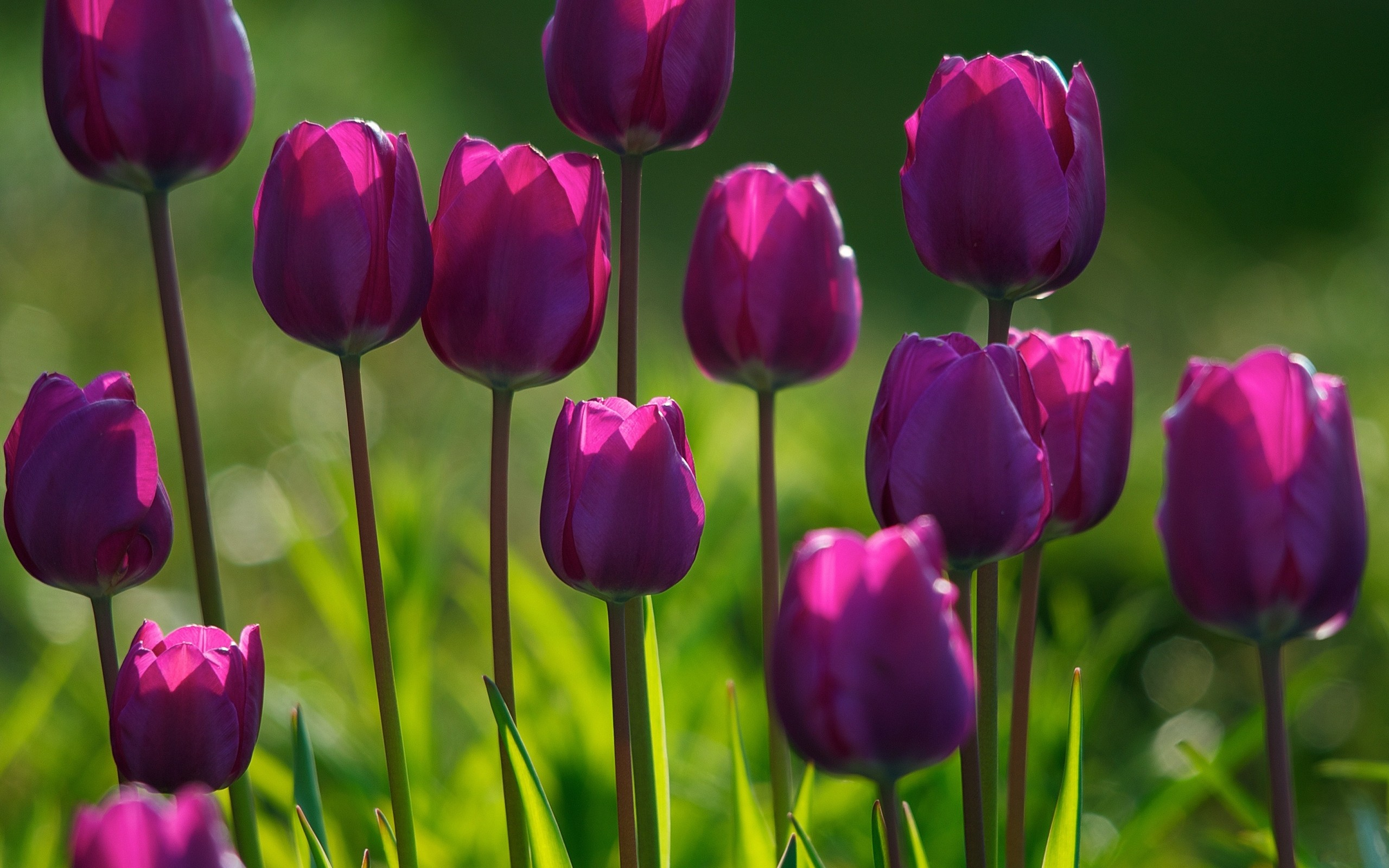 Beautiful tulips growing on the lawn