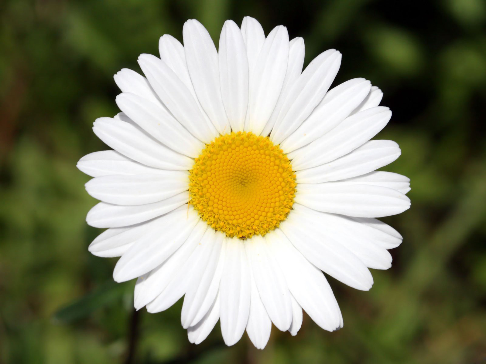 Cool white daisy