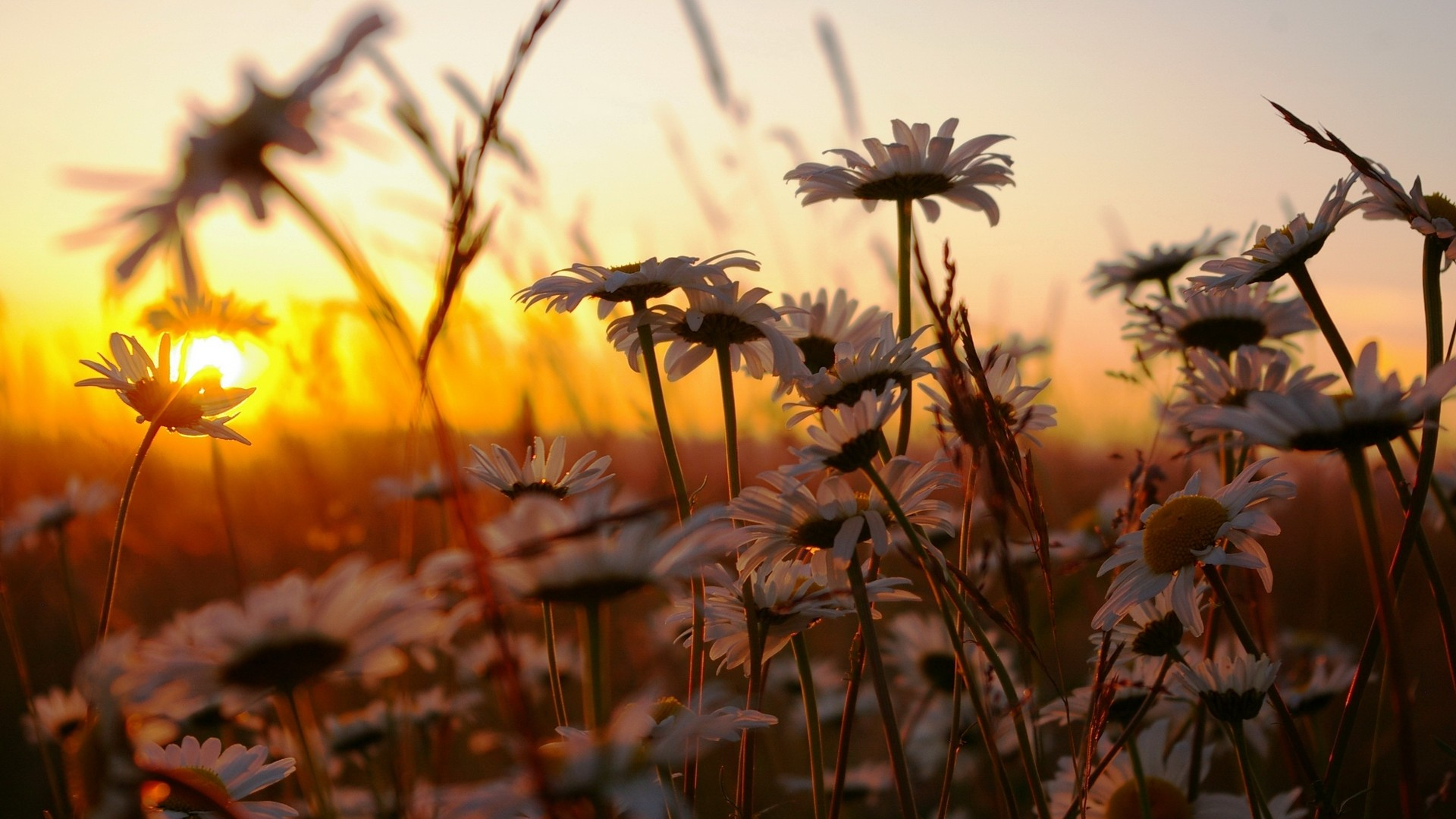 Daisies in a field at sunset