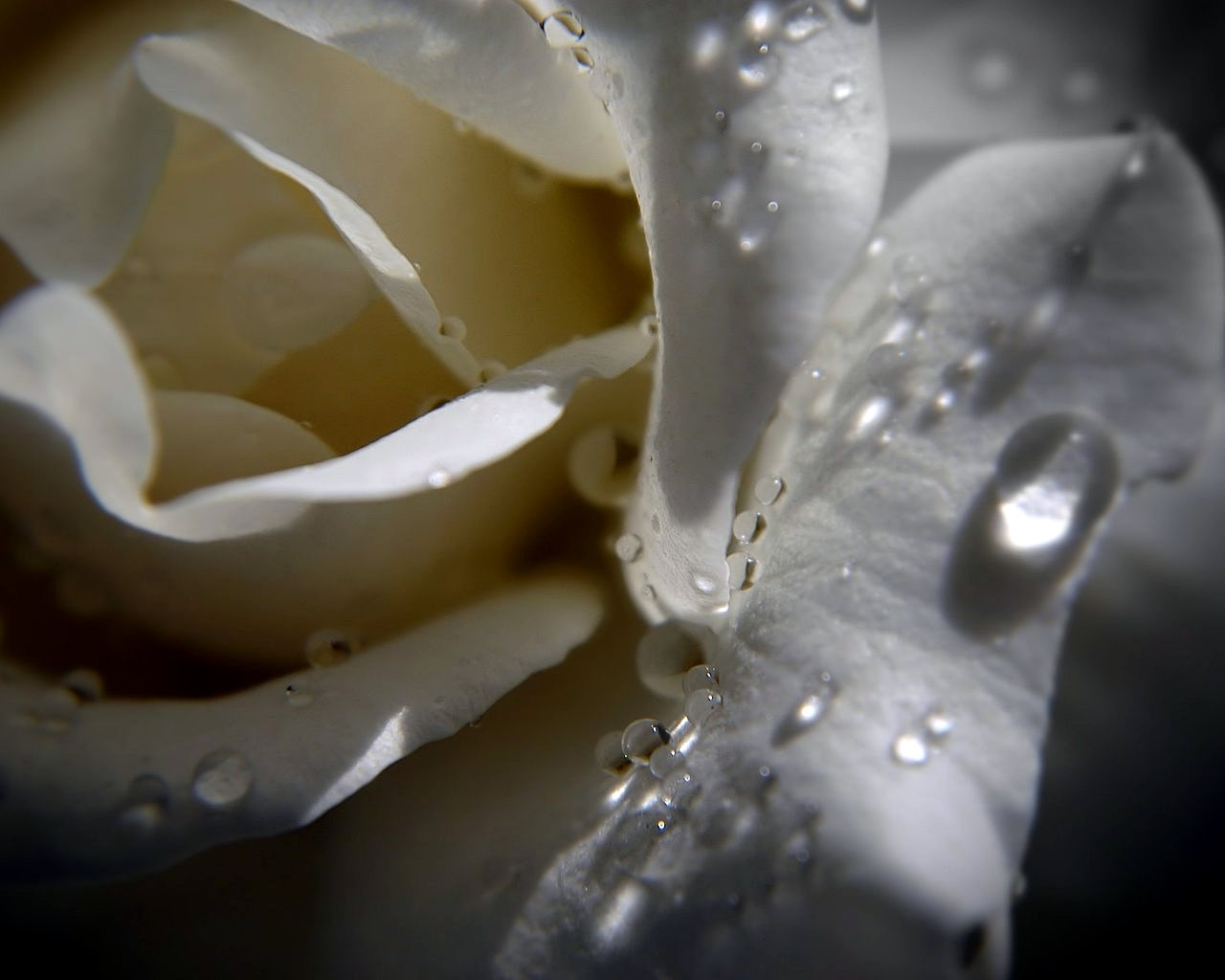 droplets on the white rose