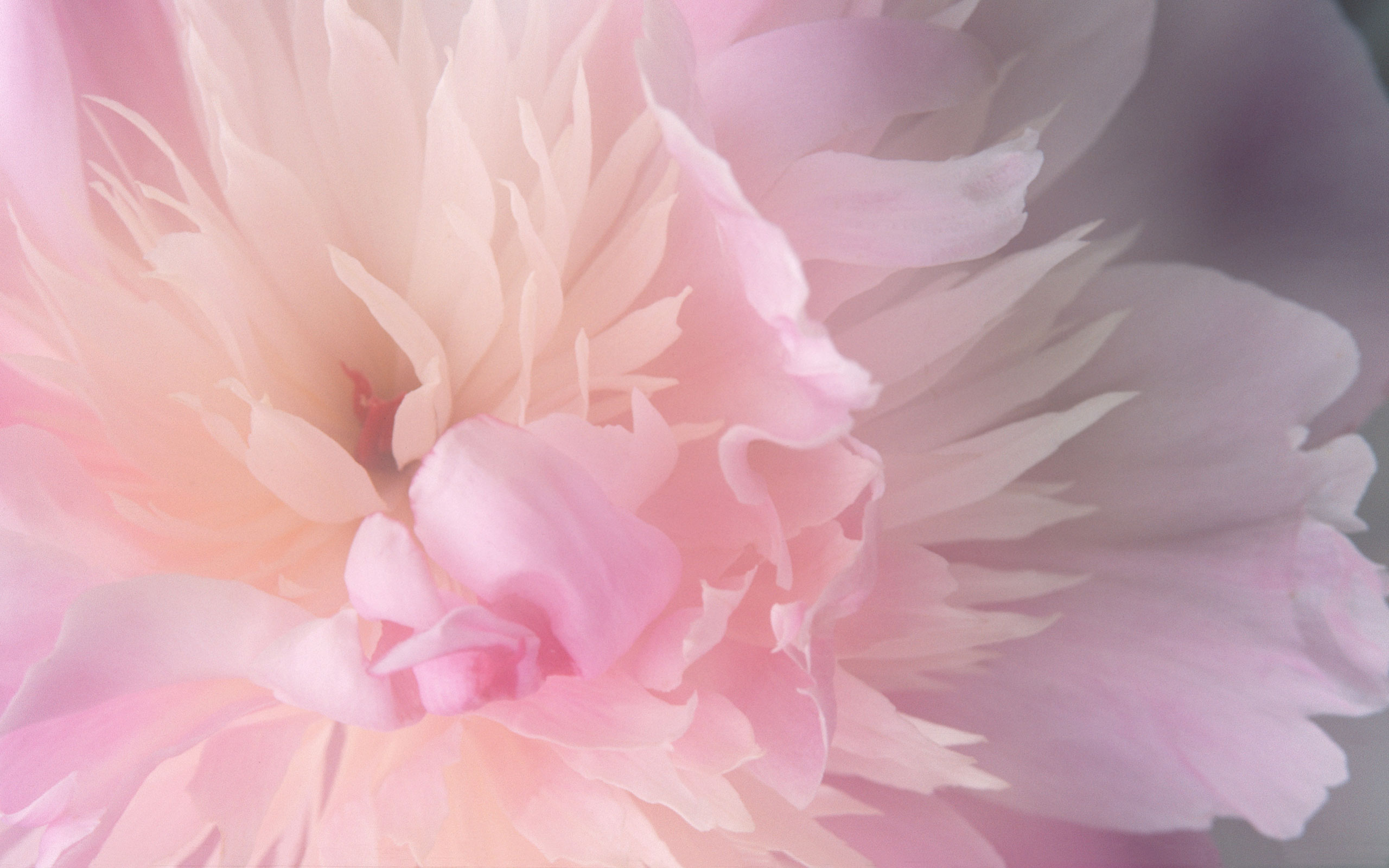 Fluffy pink flower - wallpaper on Mac OS x Tiger