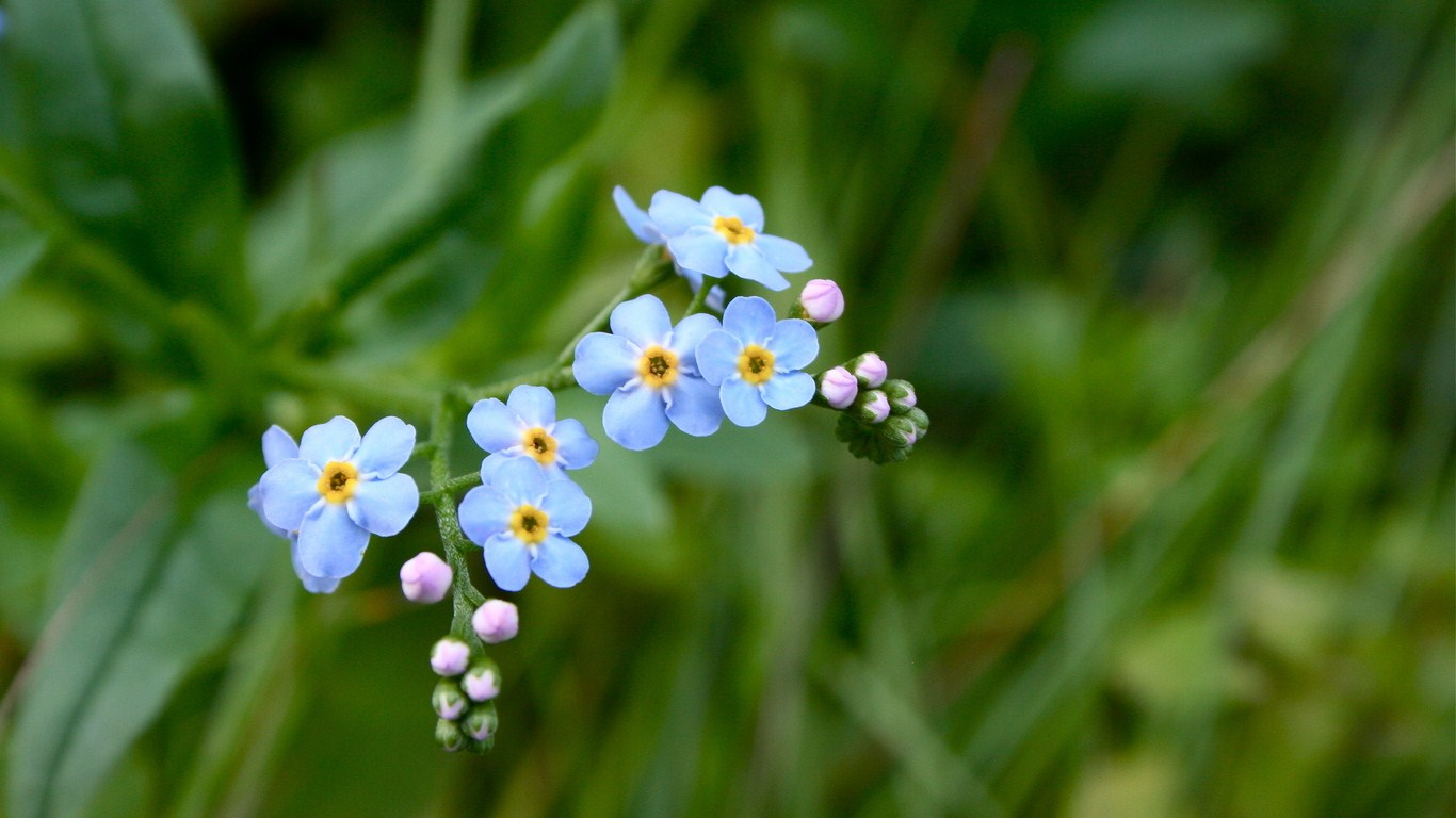 Forget-me-