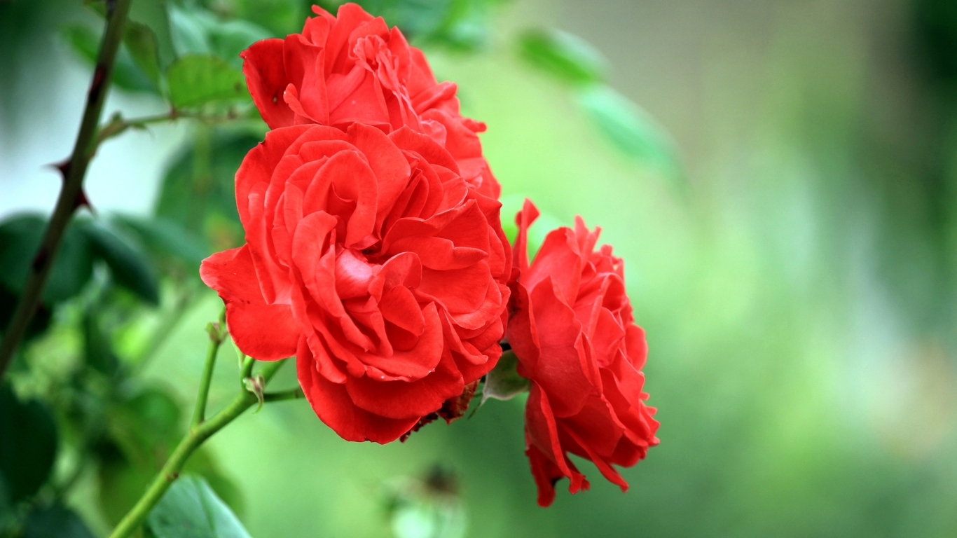Most beautiful red roses wallpapers 201615 - a-sky.info