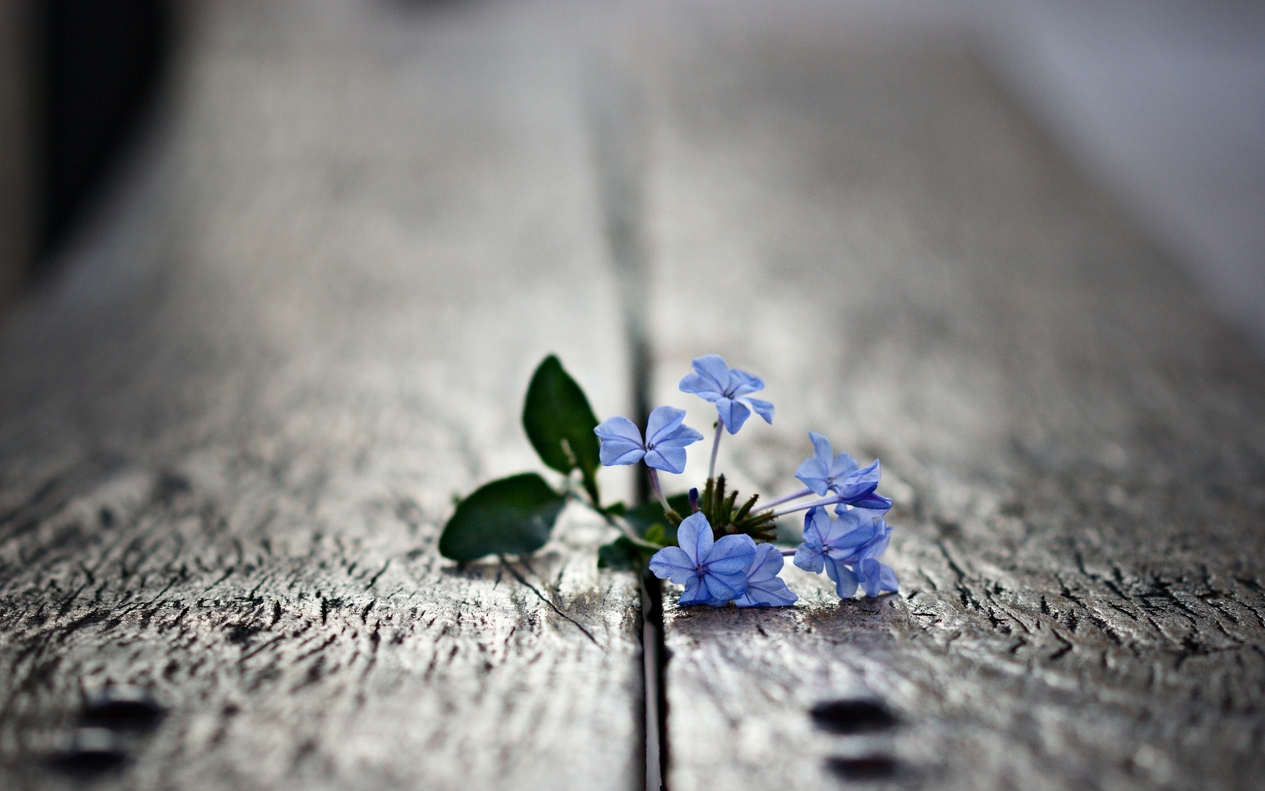 The tiny blue flower sprouting through the cracks in the wooden floor