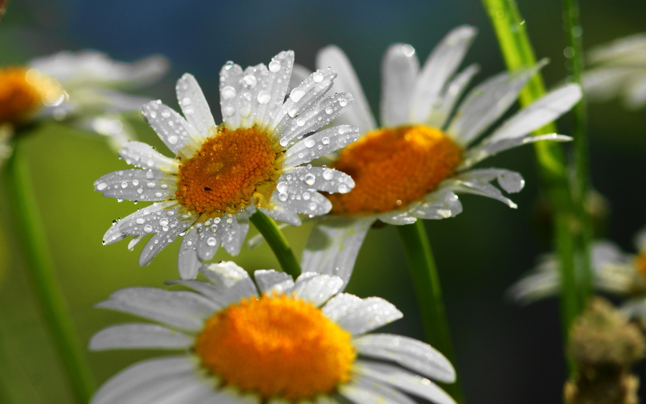Three daisies and the dew