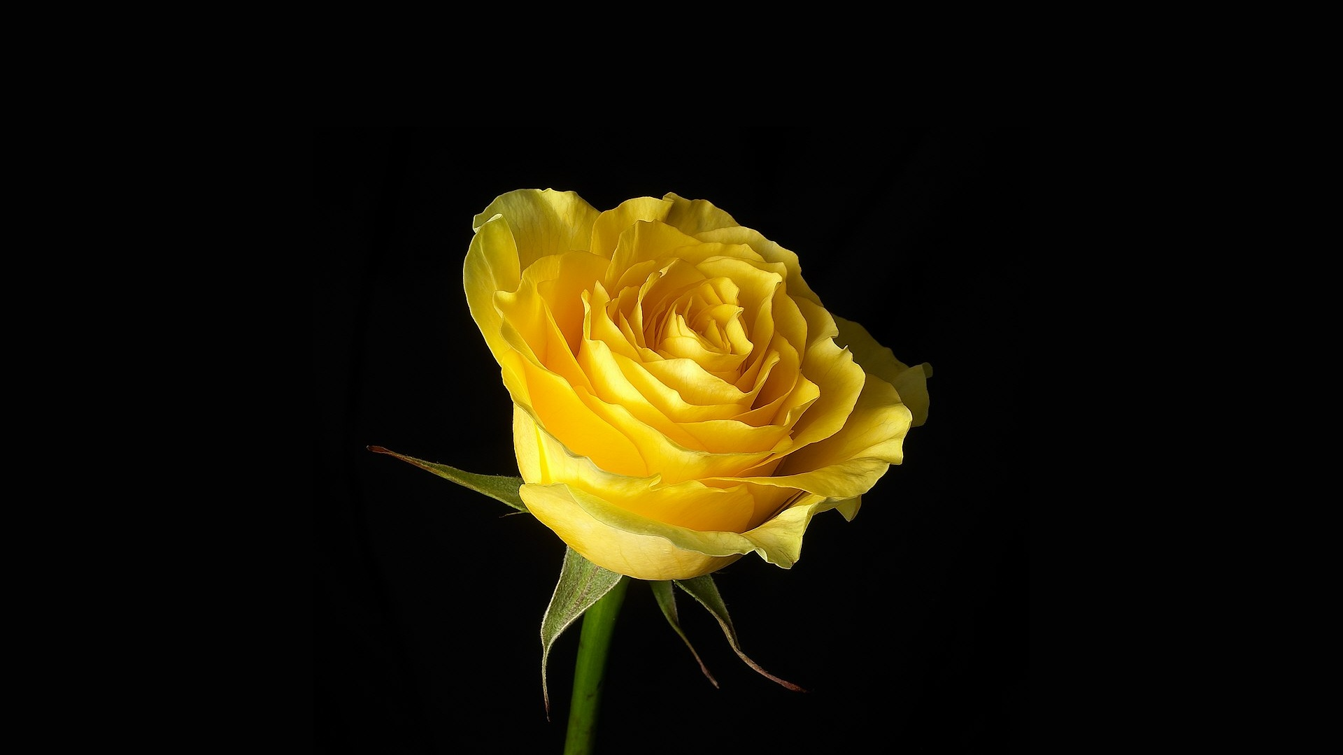 beautiful yellow rose short stories the yellow by charlotte perkins