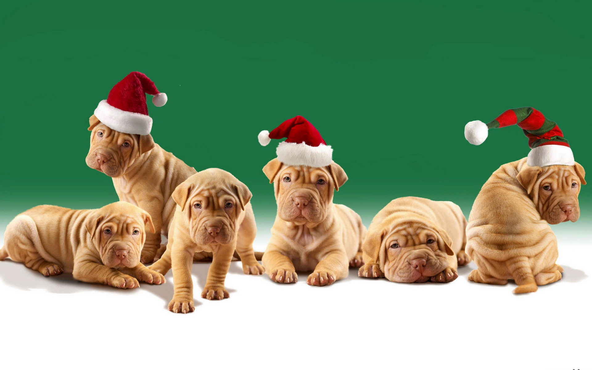 shar pei puppies in Christmas hats