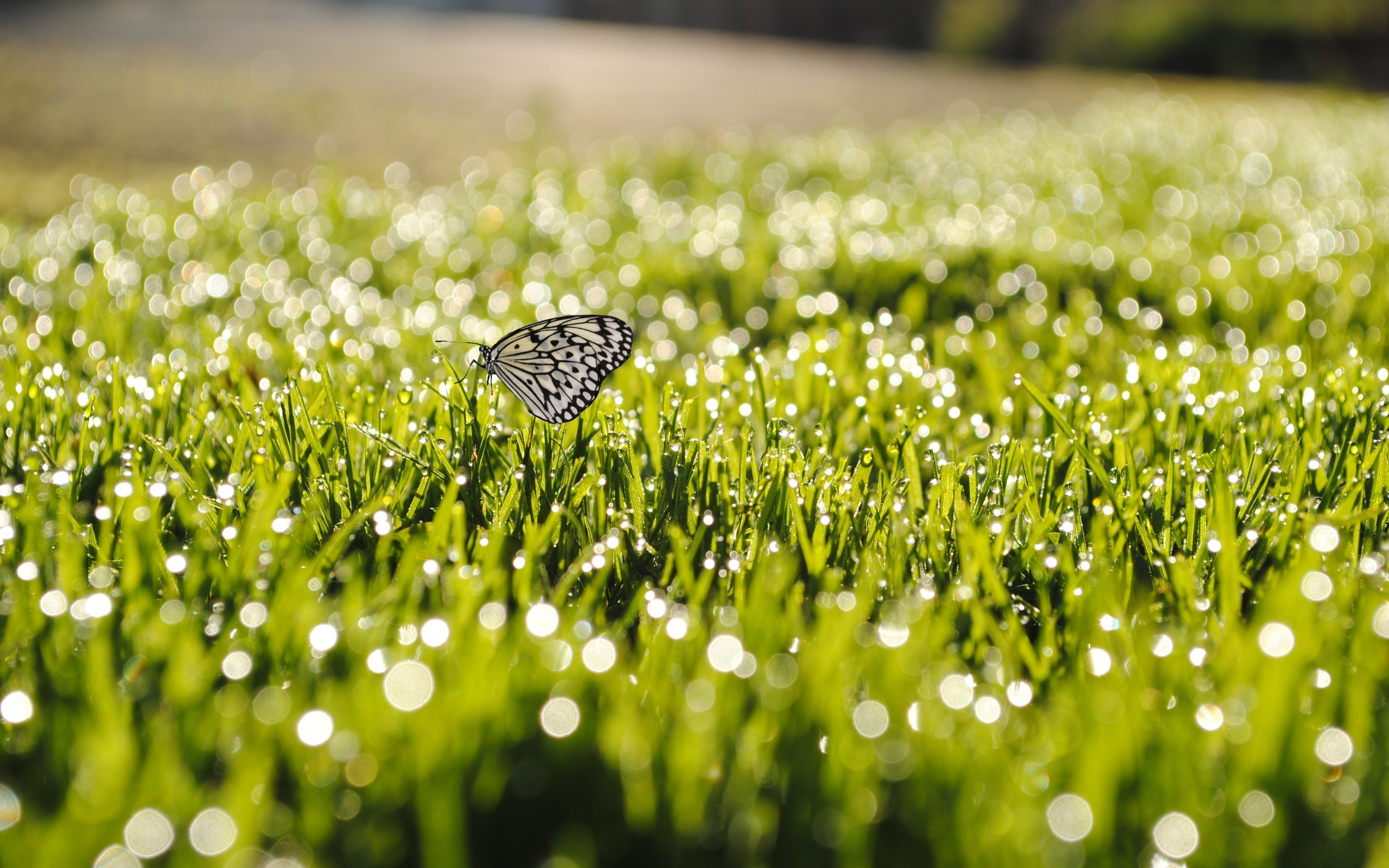 Butterfly white wings with black speckles on the grass, photo 2560x1600.