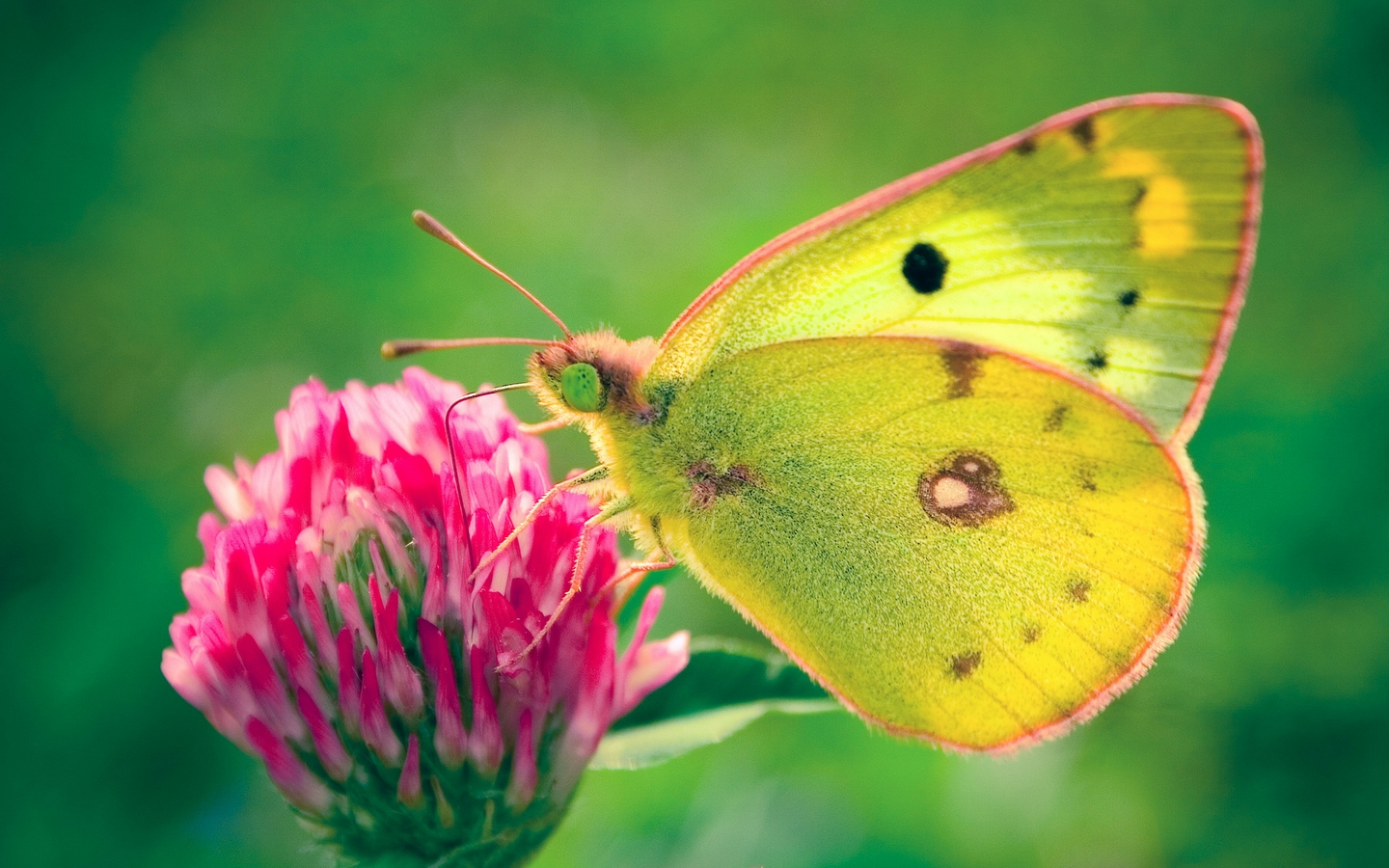 Butterfly with yellow wings