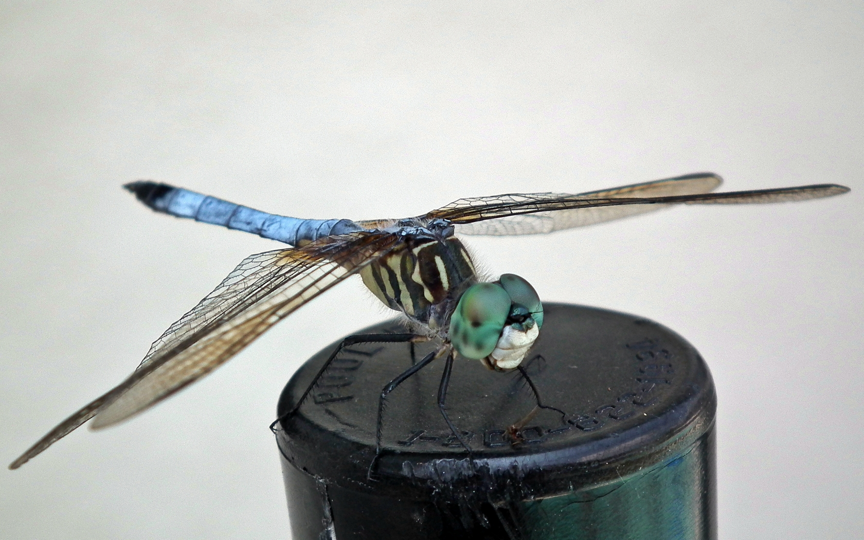 Dragonfly, close-up photo