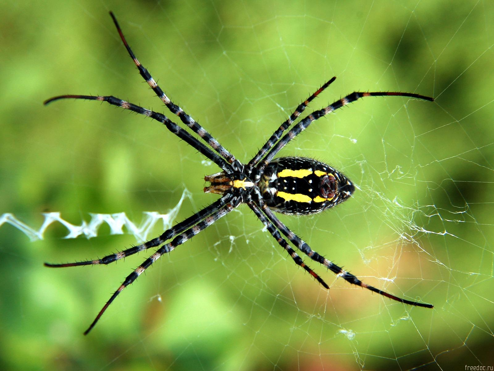 Spider - the image Wallpapers - spider, web, green, grass, forest, forest spider