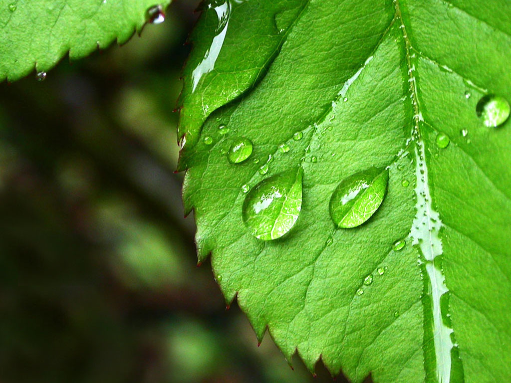 Currant leaf with water droplets, green photo wallpaper, nature, greenery, water.