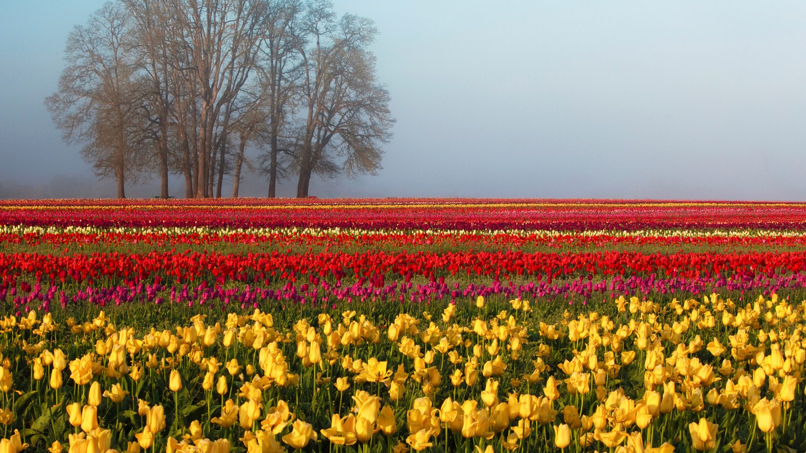 Field of tulips of different trees in the distance