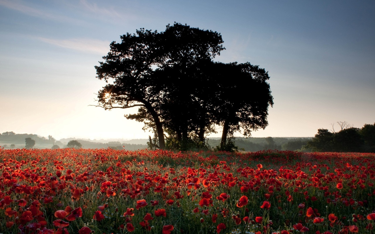 field, poppies, trees, sun, light, rays