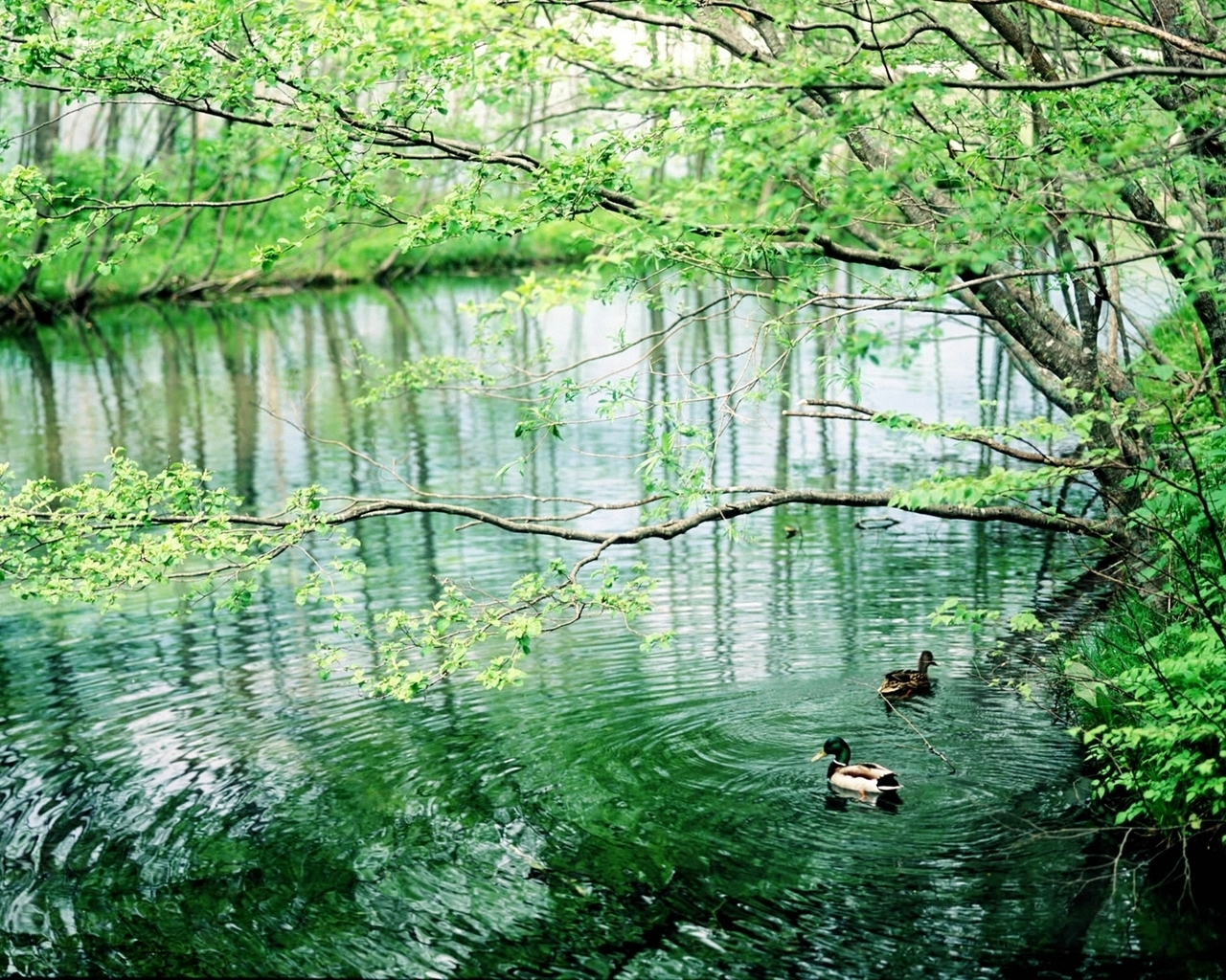 Forest River and ducks wallpaper - nature theme, birds