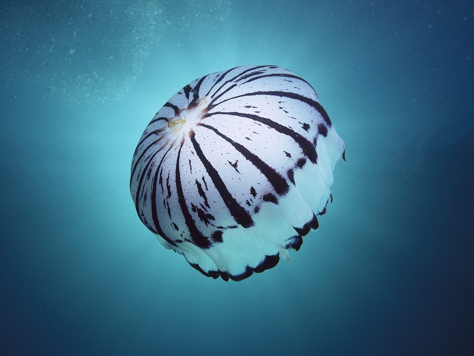 Giant Arctic jellyfish underwater photo