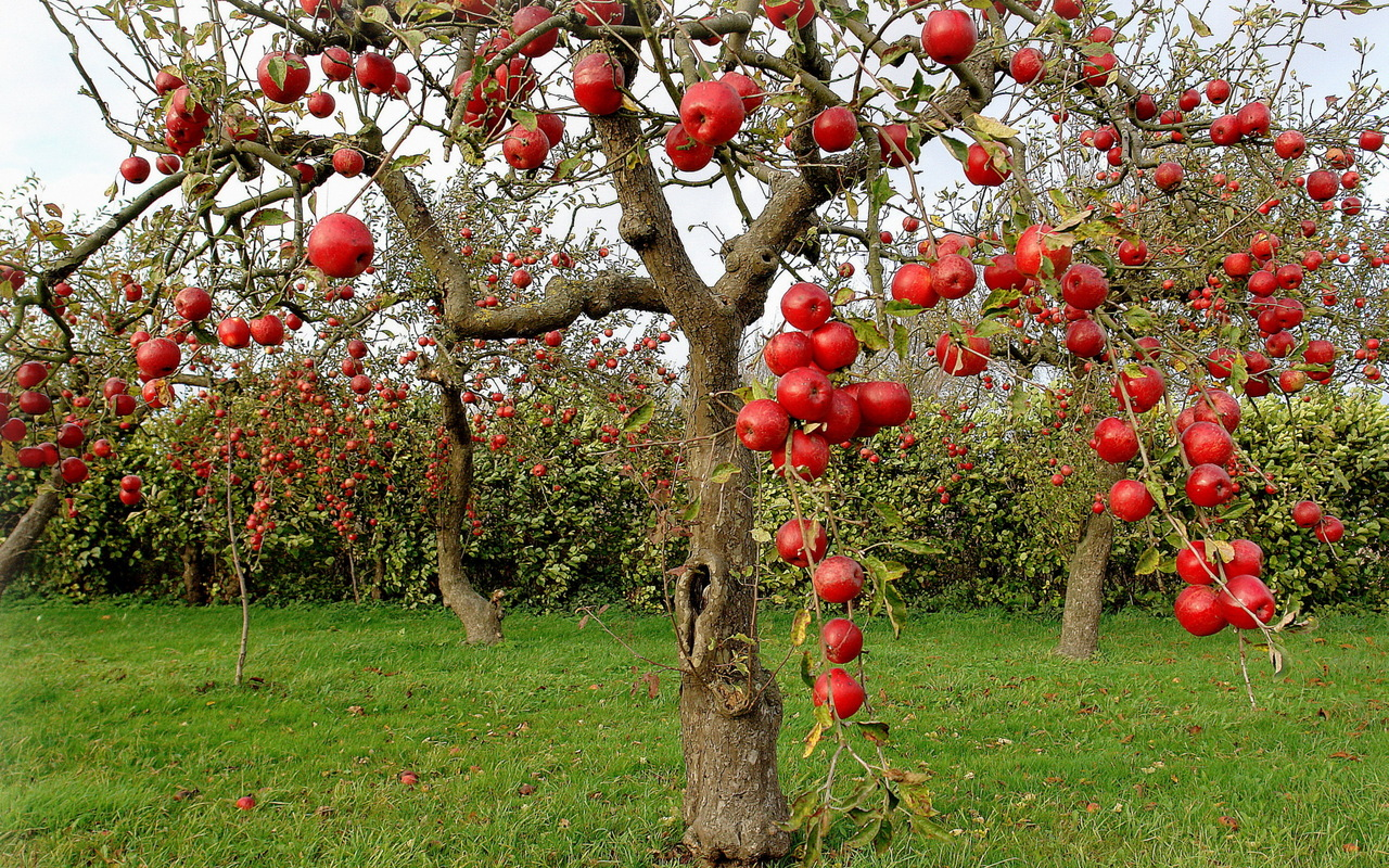 Liquid red apples on trees
