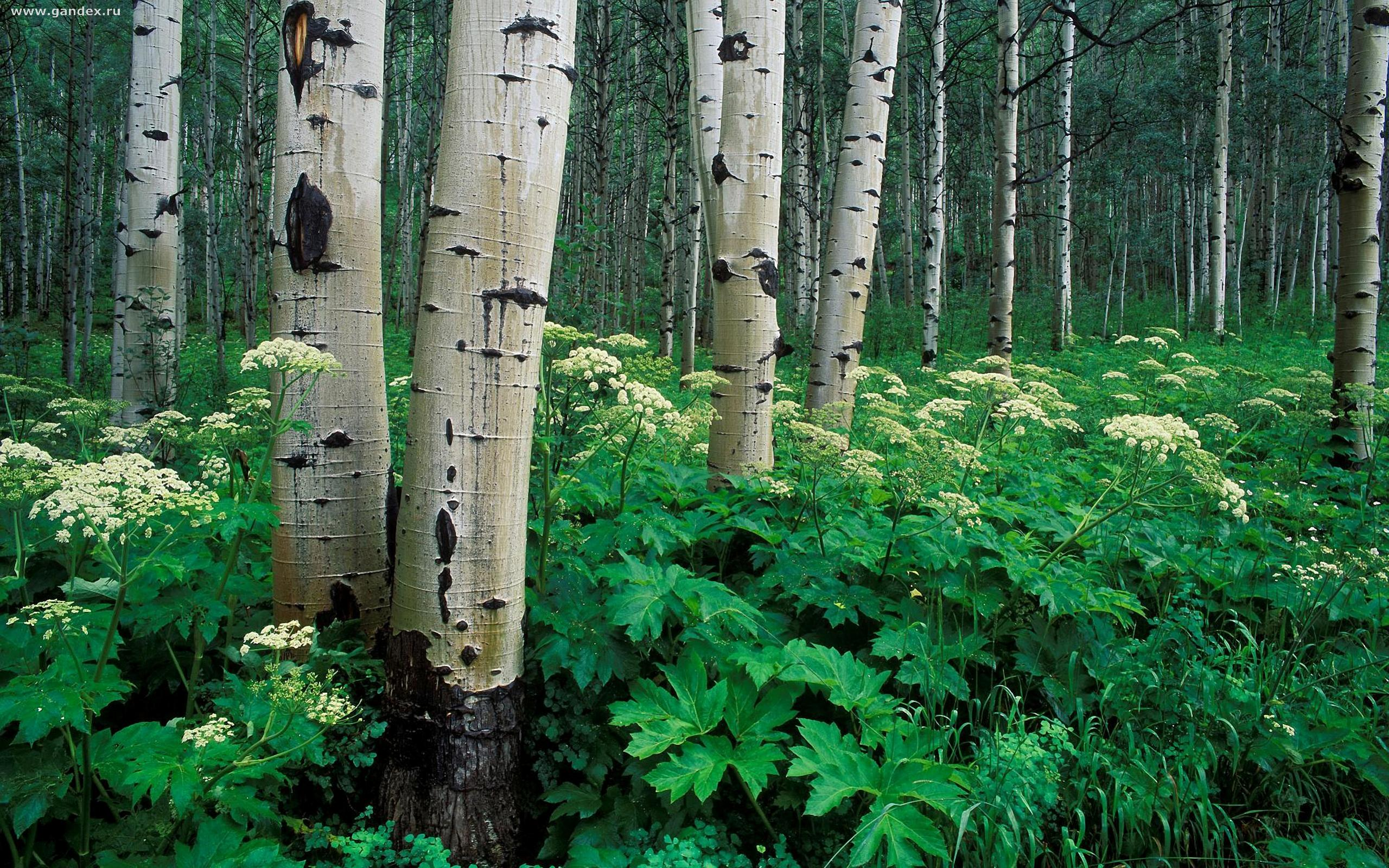 Nature, birch and grass, the National Park in Colorado, widescreen wallpapers