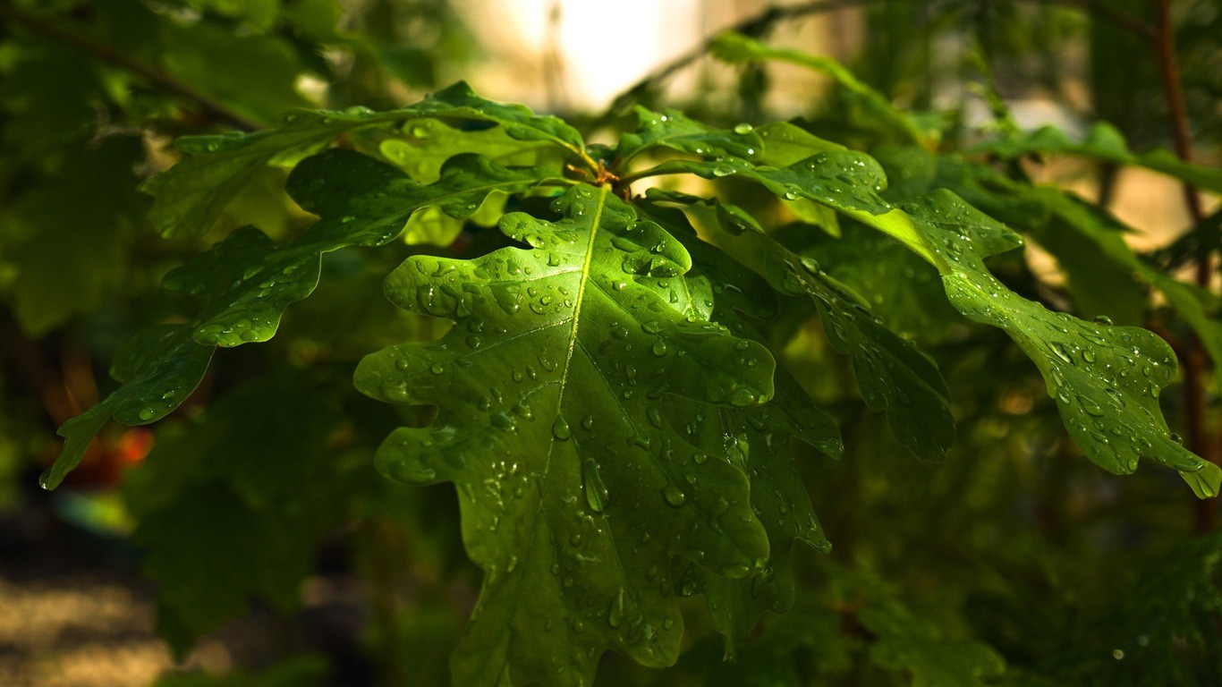 Oak leaves droplets