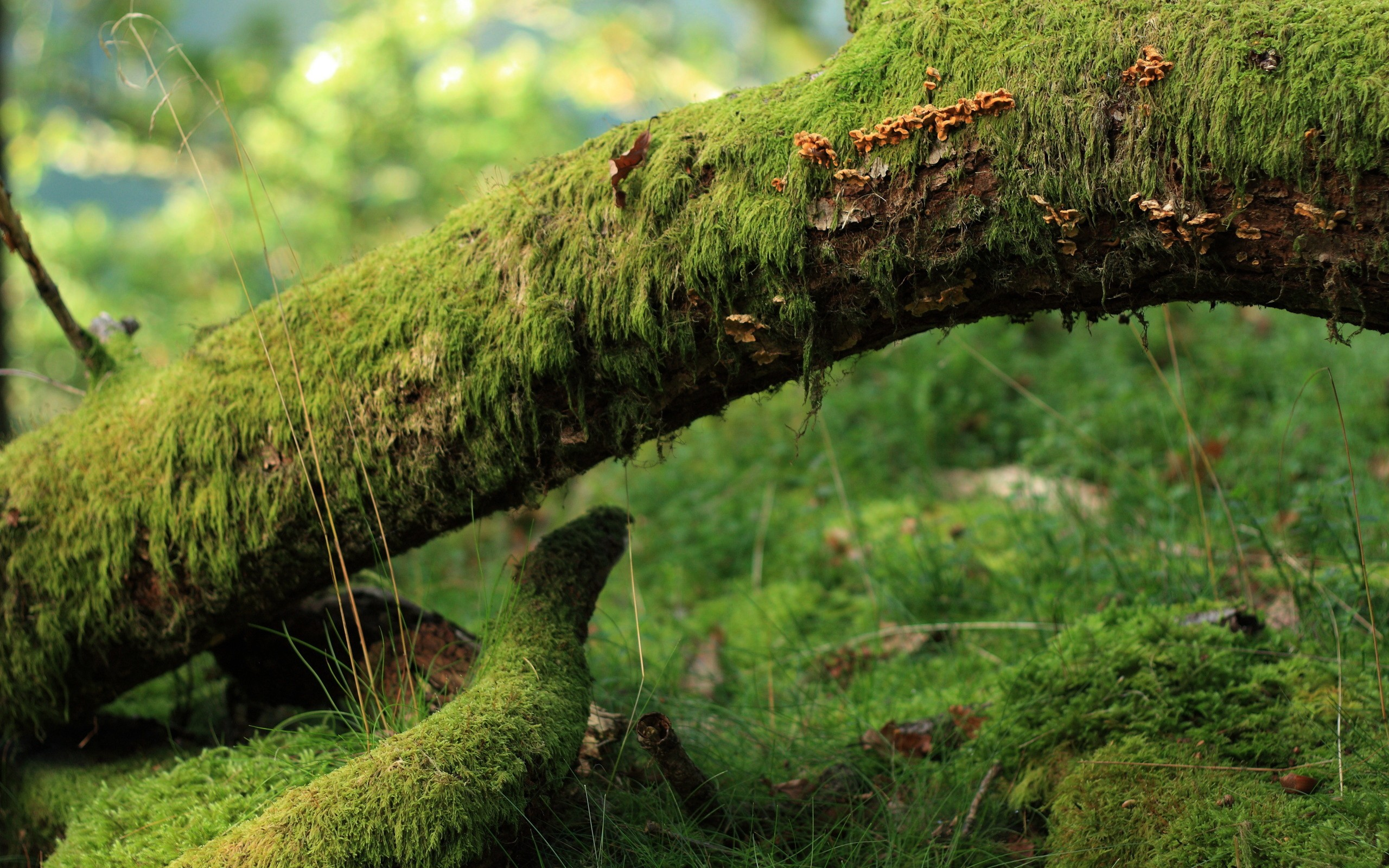 Old trees and the ground covered with moss, very beautiful photo wallpaper.
