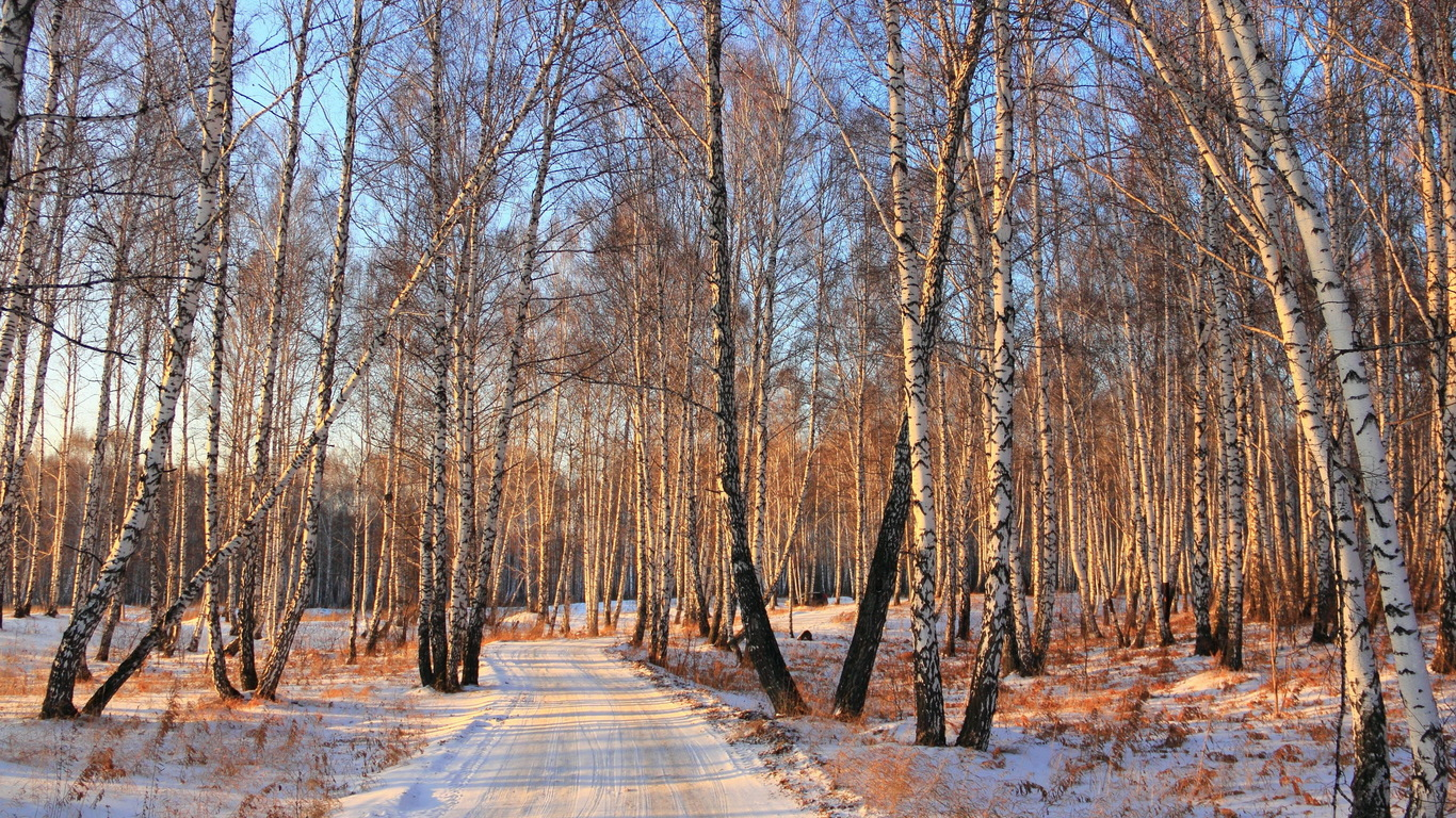Snow forest of birch trees
