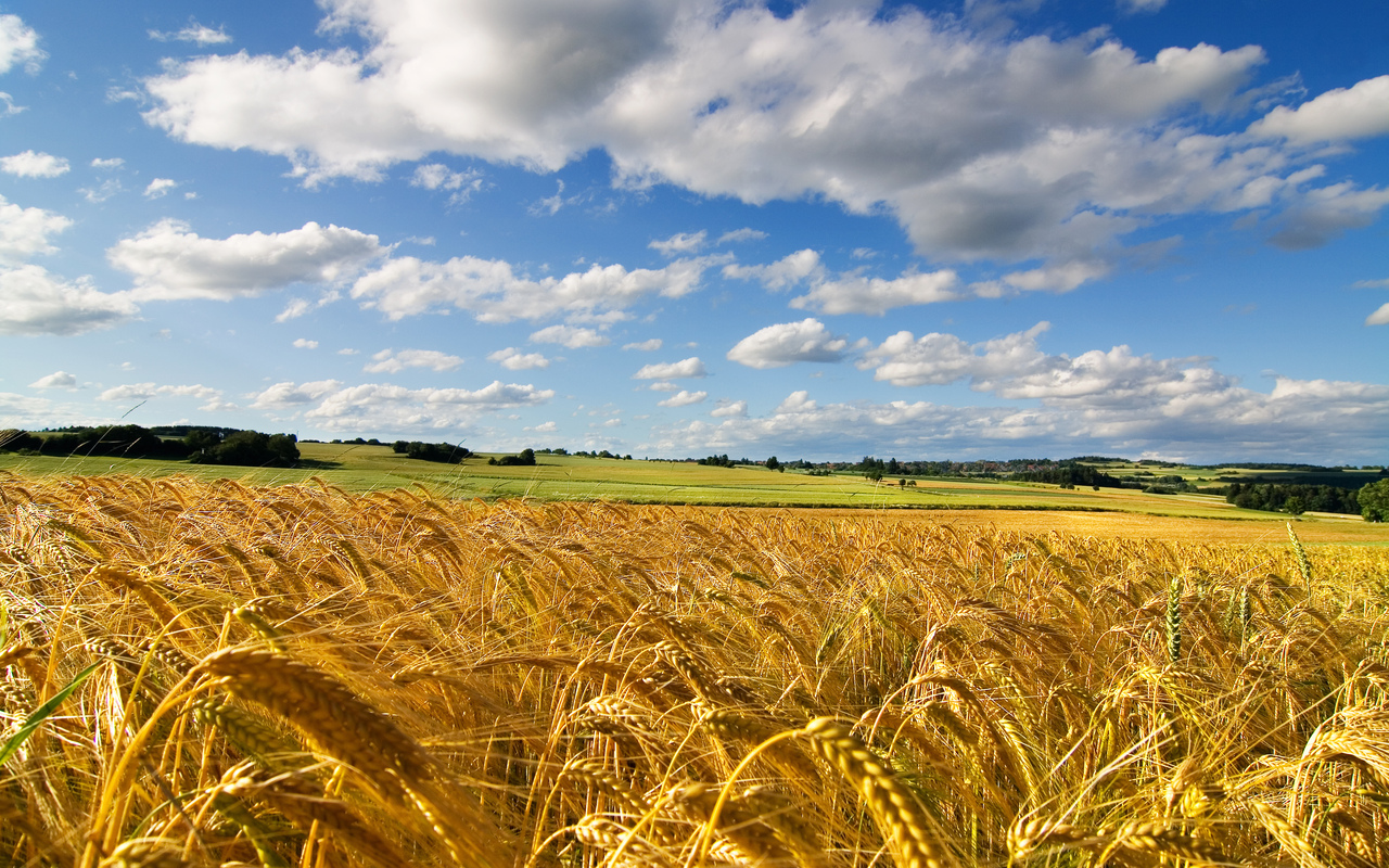 Blue sky and wheat field